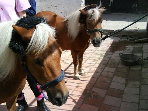 Max and Bruce used for Childrens Pony Rides